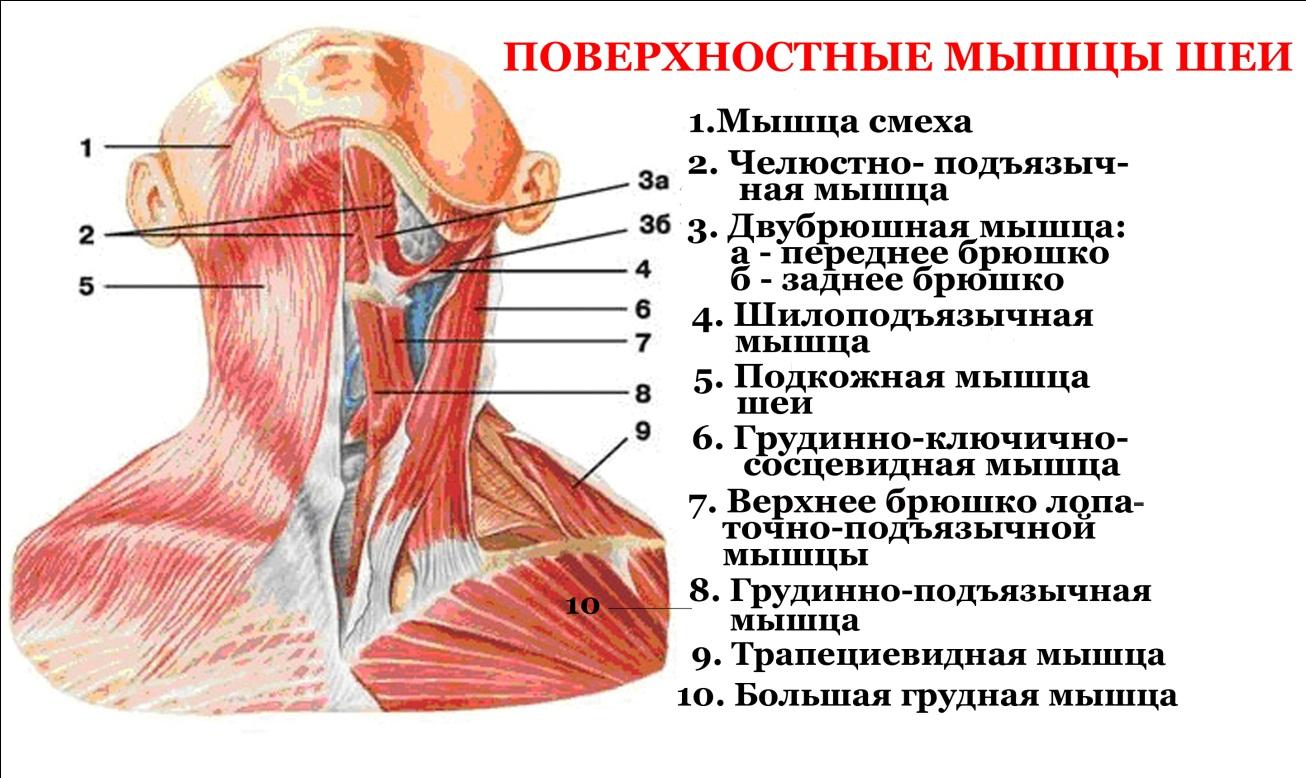 Мышцы шеи рисунок