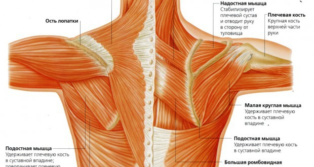 плечевые мышцы