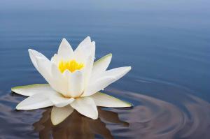 Цветок лотоса - символ гармонии