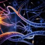 нервные_клетки_человека